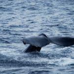 martina_escuderowolf_A_whale